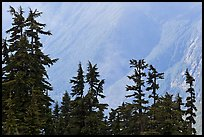 Conifers and hazy forested slope, North Cascades National Park.  ( color)