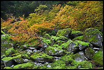 Mossy boulders and vine mapples in fall autumn color, North Cascades National Park. Washington, USA. (color)
