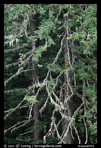 Fir and lichen, North Cascades National Park.  (color)