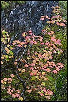 Vine maple leaves in fall color, moss and rock, North Cascades National Park. Washington, USA. (color)