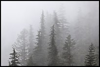 Firs in fog, North Cascades National Park. Washington, USA.