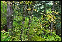 Mixed forest with autumn colors, North Cascades National Park.  ( color)