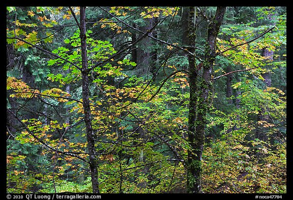 Mixed trees with fall colors, North Cascades National Park.  (color)