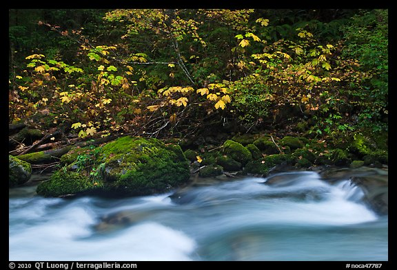 Maple tree in fall foliage next to Cascade River, North Cascades National Park.  (color)