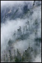 Hillside trees in fog, North Cascades National Park.  ( color)