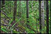 Old-growth forest of hemlock, cedar, and spruce, North Cascades National Park Service Complex.  ( color)