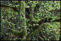 Maple and moss-covered tree trunks, North Cascades National Park Service Complex.  ( color)