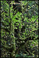 Maple leaves in dark rainforest, North Cascades National Park Service Complex.  ( color)