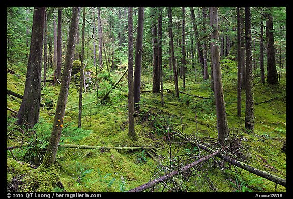Rainforest with moss-covered floor and fallen trees, North Cascades National Park Service Complex.  (color)
