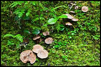 Mushrooms, North Cascades National Park Service Complex. Washington, USA. (color)