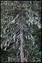 Spruce tree with hanging lichen, North Cascades National Park.  ( color)