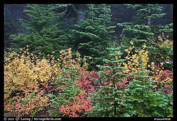 Mosaic of berry plants in autumn color and sapplings, North Cascades National Park. Washington, USA.