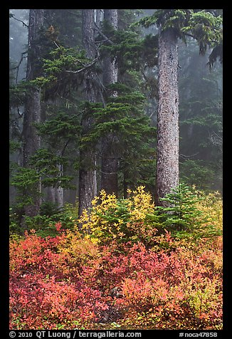 Foggy forest in autumn with bright berry colors, North Cascades National Park. Washington, USA.