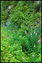 Fireweed and forest in summer, North Cascades National Park Service Complex.  ( color)