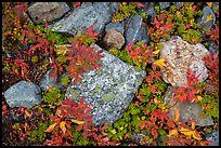 Close-up of rocks with lichen and berry plants in autumn, North Cascades National Park Service Complex.  ( color)