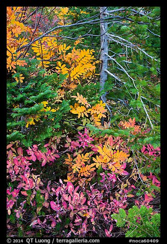 Close-up of berry plants and spruce in autumn, North Cascades National Park Service Complex.  (color)