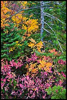 Close-up of berry plants and spruce in autumn, North Cascades National Park Service Complex.  ( color)