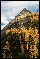 Larch trees in autumn foliage below triangular peak, Easy Pass, North Cascades National Park. Washington, USA.