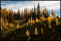 Subalpine larch trees in autumn foliage on slope, Easy Pass, North Cascades National Park. Washington, USA.