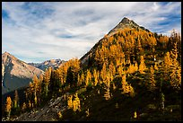 Alpine larch in autumn foliage above Easy Pass, North Cascades National Park. Washington, USA.