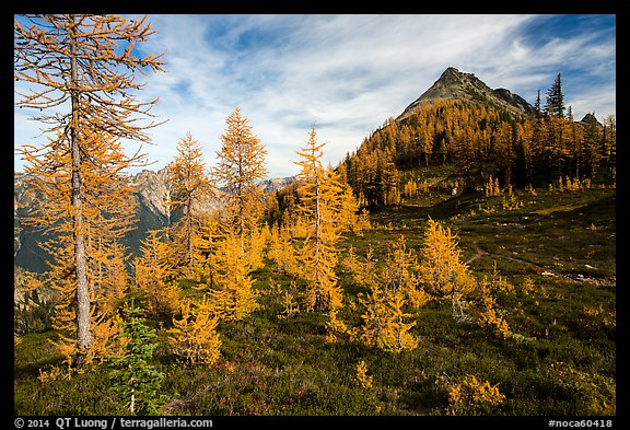 Subalpine larch (Larix lyallii) in autumn foliage at Easy Pass, North Cascades National Park.  (color)
