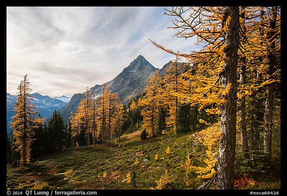 Alpine larch in autumn and Ragged Ridge, North Cascades National Park.  (color)