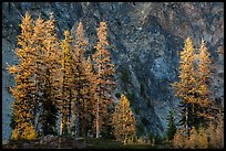Alpine larch in autumn and rock wall, Easy Pass, North Cascades National Park. Washington, USA.