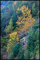 Trees in autumn foliage on steep slope, North Cascades National Park Service Complex. Washington, USA.