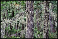 Epiphytic moss on trees, Lake Ross trail, North Cascades National Park Service Complex.  ( color)