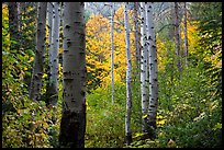 Aspen trunks and autumn colors, North Cascades National Park.  ( color)