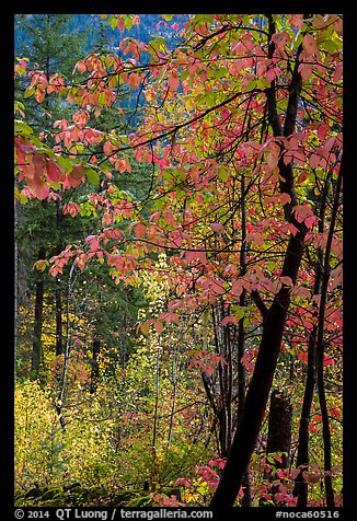 Fall foliage along Agnes Gorge trail, North Cascades National Park.  (color)