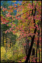 Fall foliage along Agnes Gorge trail, North Cascades National Park.  ( color)