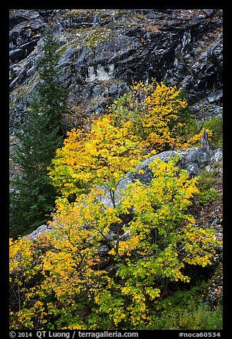 Vine maple in fall foliage against cliffs, North Cascades National Park Service Complex.  (color)