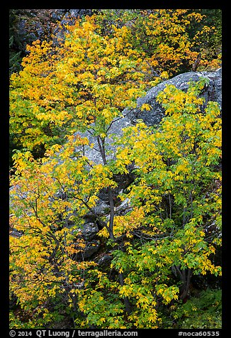 Vine maple in autumn foliage and boulder, North Cascades National Park Service Complex.  (color)