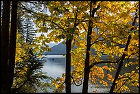Trees in fall foliage on shore of Lake Chelan, Stehekin, North Cascades National Park Service Complex. Washington, USA.