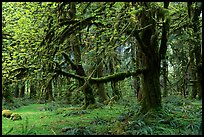Green Mosses and trees, Quinault rain forest. Olympic National Park, Washington, USA. (color)