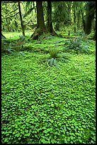 Forest floor carpeted with clovers, Quinault rain forest. Olympic National Park, Washington, USA.