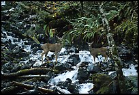 Deer standing in creek. Olympic National Park ( color)