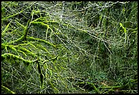 Branches and moss in spring. Olympic National Park, Washington, USA.