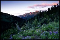 Wildflowers at sunset, Hurricane ridge. Olympic National Park, Washington, USA.