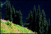 Wildflowers and pine trees, Hurricane ridge. Olympic National Park, Washington, USA. (color)