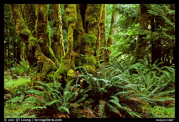 Ferns and moss-covered trunks near Crescent Lake. Olympic National Park, Washington, USA.