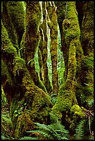 Moss-covered trunks near Crescent Lake. Olympic National Park, Washington, USA.