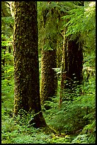 Trunks near Sol Duc falls. Olympic National Park, Washington, USA.