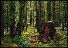 Moss-covered trees in Quinault rainforest. Olympic National Park, Washington, USA. (color)
