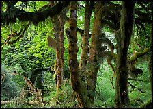 Club moss on vine maple and bigleaf maple in Hoh rain forest. Olympic National Park, Washington, USA. (color)
