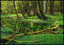 Pond in lush rainforest. Olympic National Park, Washington, USA. (color)