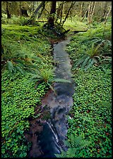 Creek in Quinault rain forest. Olympic National Park ( color)