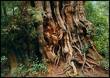 Huge cedar tree. Olympic National Park, Washington, USA.