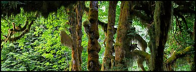 Hoh rainforest. Olympic National Park (Panoramic color)